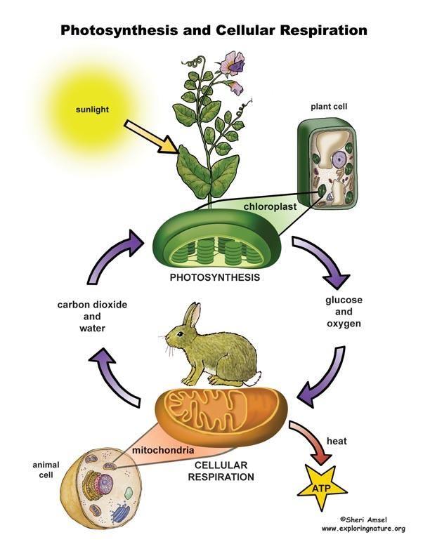 Biology EOC Resources / Unit 4:Cellular Energy